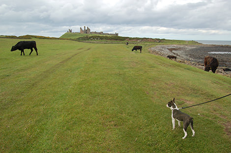 Walk through the fields (avoiding the cows) with wonderful views of the castle ruins