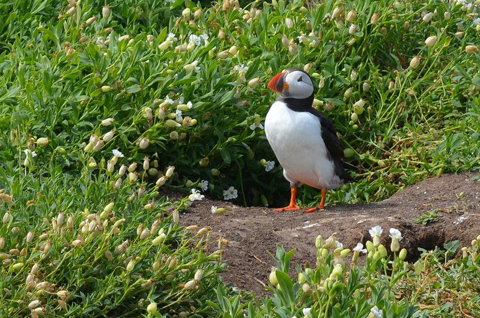 A puffin on one of the Farne Islands, Northumberland
