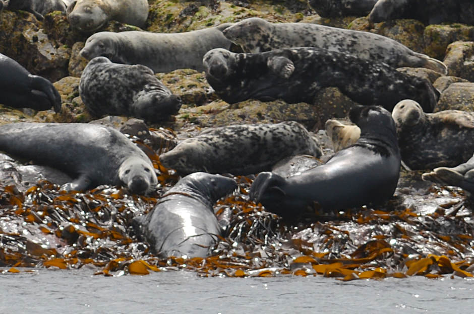 Grey seals hauled out on the rocks