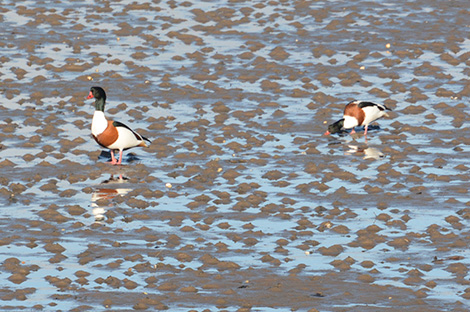 Shelducks in Budle Bay